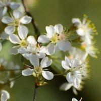 Яблони в цвету.... :: Paparazzi