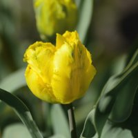 ...Жёлтые тюльпаны,вестники разлуки..... :: Paparazzi