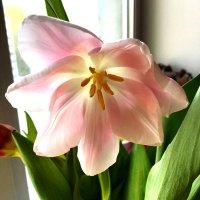 Раскрывшийся тюльпан :: Алла ZALLA