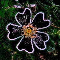 Абрис цветка шиповника :: Нина Корешкова