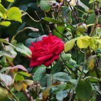 красная роза :: Татьяна Васильева