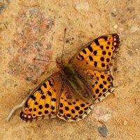 бабочки на земле 4 :: Александр Прокудин
