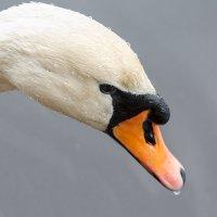 Лебедь :: Рашит Усманов