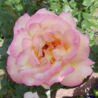 Роза :: Викторина Срыбна