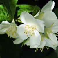 Этот прекрасный запах жасмина :: Шура Еремеева