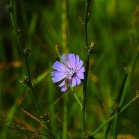 Луговой цветок :: Юрий Гайворонский