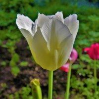 Самый последний тюльпан нашего двора 2... :: Sergey Gordoff