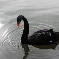 Черный лебедь. :: Ираида Мишурко