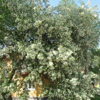 июнь,яблони цветут :: tgtyjdrf