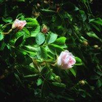 Чайная роза в бутоне... :: *MIRA* **