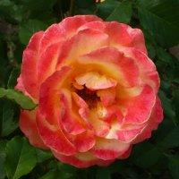 Красавица-роза! :: Надежда