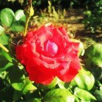Роза :: Любовь ***