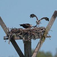 Osprey :: Naum