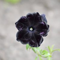 Черная красавица :: Оксана Шрикантх
