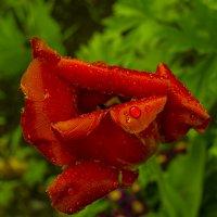 Увядающий тюльпан. :: Марина Никулина