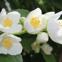 жасмин в цвете.. :: Анна Шишалова