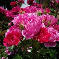 Время цветения роз!....... :: Galina Dzubina