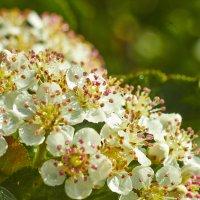 цветы черноплодной рябины :: Седа Ковтун