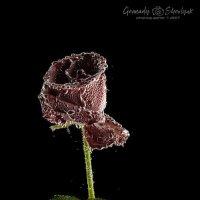 Роза :: Геннадий Шевлюк