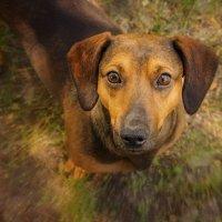 Глаза собаки - капли янтаря :: Наталья Киселёва