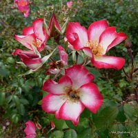 Нежная дружба пчёлки с розами :: Nina Yudicheva