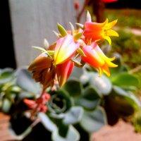 Цветет каменная роза :: Валентина Богатко
