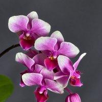 Орхидея :: prvivl prvivl