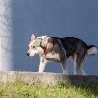 собака, идущая сама по себе :: Наталья Василькова