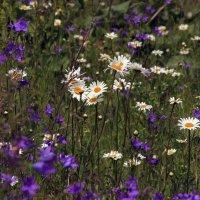 полевые цветы :: оксана
