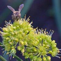 Нектар цветущего лука :: Анатолий Иргл