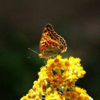 Бабочки. Евпатория. 2017. :: Марианна Привроцкая