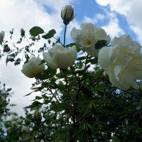 """""""Белый шиповник, дикий шиповник – краше садовых роз» :: Елена Павлова (Смолова)"""