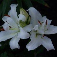 белоснежная лилия :: pich