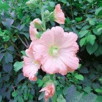 Розовая мальва :: татьяна