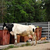 Пейте дети молоко... :: Leonid Rutov