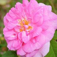 Rosa damascena :: Swetlana V