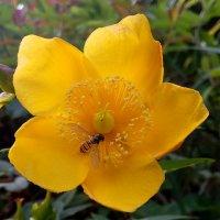 аки пчелка :: Антонина Владимировна Завальнюк