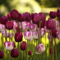 Тюльпаны вечерние... :: Ирина Румянцева