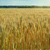 Золотая пшеница колышется в чистом поле, где воздух так пьян... :: *MIRA* **