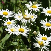 Ах, ромашки! Цветы луговые — золотисто-белый дурман… :: Elena Izotova