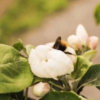 Ужин найду в цветке яблони... :: Марина Никулина