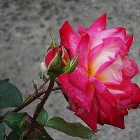 В бутоне алой розы - бесконечность, и нежных лепестков лучистость :: Маргарита Батырева