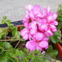 Розовая герань :: татьяна