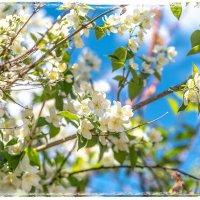 Цветут сады :: Алексей Сопельняк