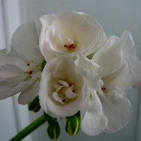 Цветы пеларгонии :: Вера Щукина