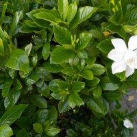 Белый цветок :: Светлана Беляева