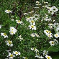 Ромашки, ромашки, сколько прелести в цветке, нежность в каждом лепестке :: Маргарита Батырева