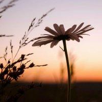 Вечерняя ромашка . :: Va-Dim ...
