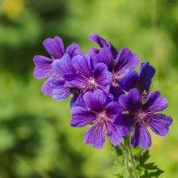 Полевые цветы :: Valentina M.