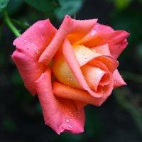 роза :: Игорь Гарагуля